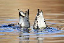Bottoms Up,  Ducks Diving For Food At The Bottom Of A Pond