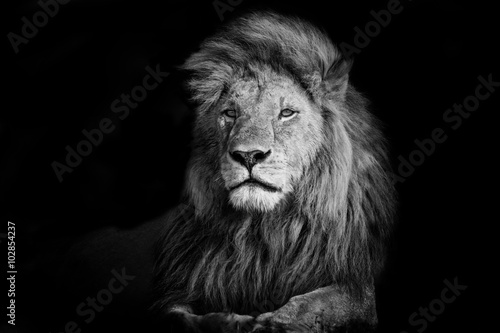 Beautiful Lion Romeo 2 of Double Cross Pride in Masai Mara, Kenya Wallpaper Mural