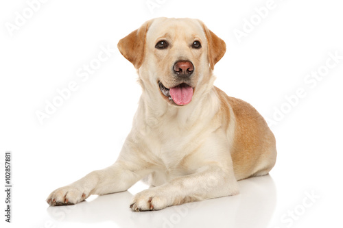 Young happy Labrador dog Poster Mural XXL
