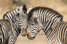 Cuddles Between Two Zebras, Kr...