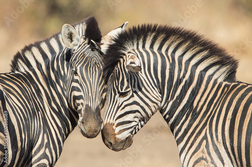 Poster Zebra Cuddles between two zebras, Kruger Park, South Africa