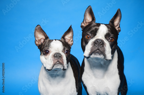 Fototapeta Boston Terriers blue background obraz na płótnie