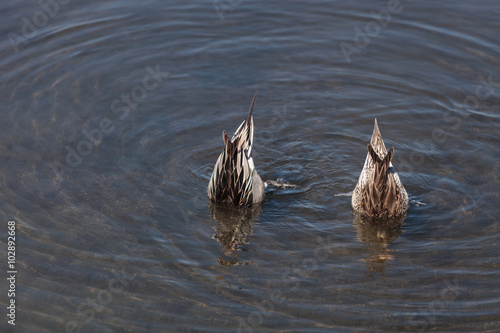 Fotografie, Obraz  Northern pintail, Anas acuta, duck forages for food in the marsh at the Bolsa Ch