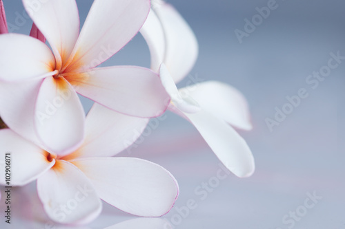 Deurstickers Frangipani Bunch of pink and white frangipani flowers with space for copy