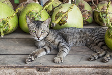 Little Cute Siberian Cat With Green Eyes Lying Between Coconuts