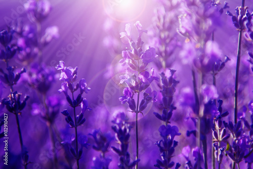 field lavender flowers