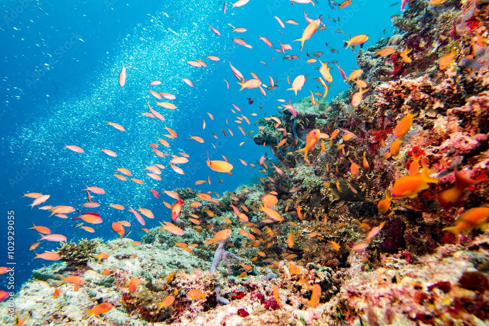 Fototapeta diving in colorful reef underwater