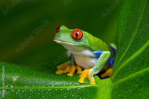 Foto op Aluminium Kikker Red-Eyed Amazon Tree Frog (Agalychnis Callidryas)/Red-Eyed Amazon Tree Frog on large palm leaf