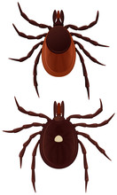 Vector Illustration Of Two Ticks: A Lone Star Tick And A Deer Tick.