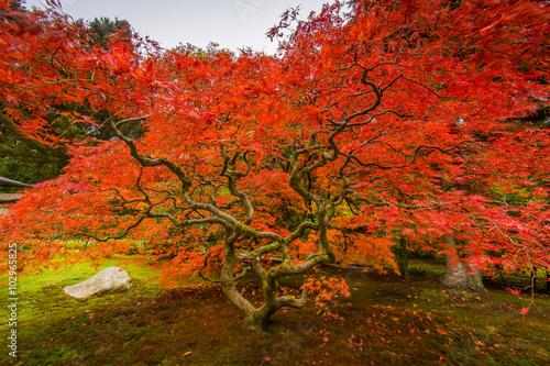 Poster de jardin Rouge Seattle Japanese Garden, Maple Tree