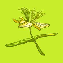 Hypericum Perforatum. Botany. Wildflower.