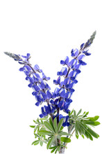 Blue Lupine Flower Isolated On...