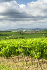 Fototapeta na wymiar Vineyard near Carcassonne (France)