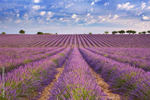 Poster  Blooming fields of lavender in the Provence, southern France