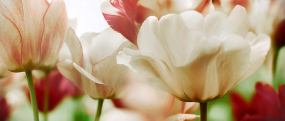 Panel Szklany Tulipany highkey tulips highres