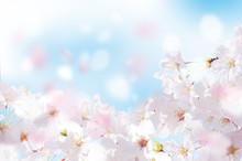 桜  花びら  たくさん  ...