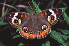 Buckeye Butterfly Illinois Wildlife