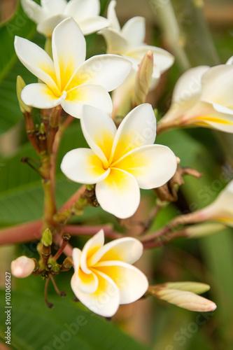 Staande foto Frangipani Plumeria