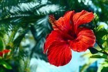 Hibiscus Flower Close-up