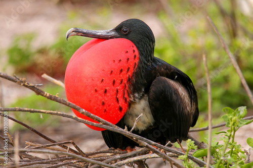 Photo  Male Magnificent Frigatebird with inflated gular sac on North Se
