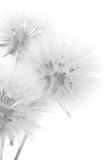Bouquet of dandelions - 103081020