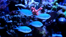 Group Of Blue Chromis (Chromis...