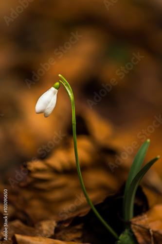 Fotografie, Obraz  Krásné divoké květiny, sněženka Galanthus nivalis, v lese, na slunné jarní den