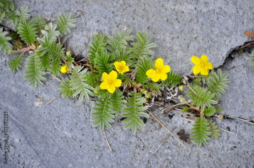 фотография  Silverweed growing in a crack in a rock