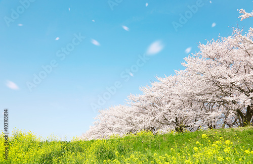 日本の春の風景 桜 染井吉野 桜吹雪