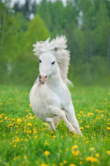 FototapetaWhite shetland pony running on the field with dandelions