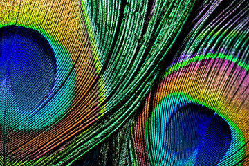 Peacock feather , close up