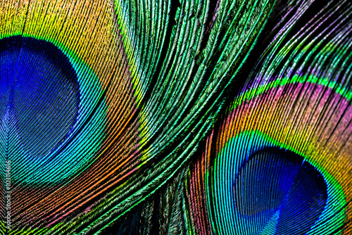 Poster Paon Peacock feather , close up