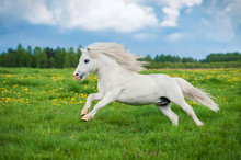 White Shetland Pony Running On The Field In Summer