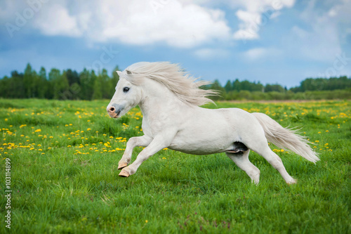 Photographie White shetland pony running on the field in summer