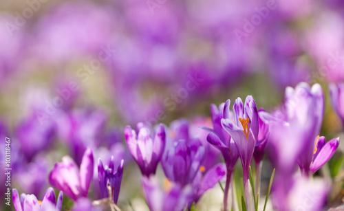 Poster Iris Field of magic blooming spring flowers crocus