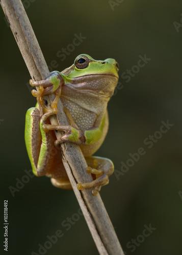 Tuinposter Kikker Green Tree Frog on a reed leaf (Hyla arborea)