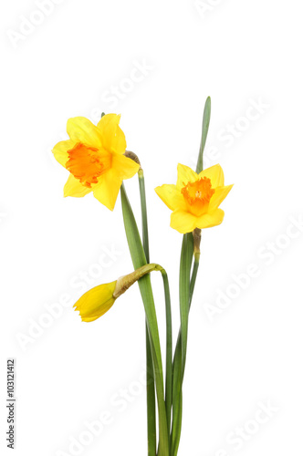 Deurstickers Narcis Daffodil flowers and bud