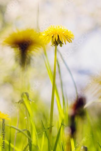Fototapety, obrazy: Yellow dandelion nature background