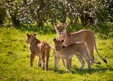 Fototapeta Sawanna - Rodzinka lwów