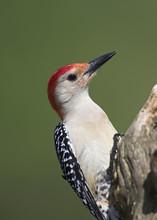 Male Red Bellied Woodpecker, (Melanerpes Carolinus)