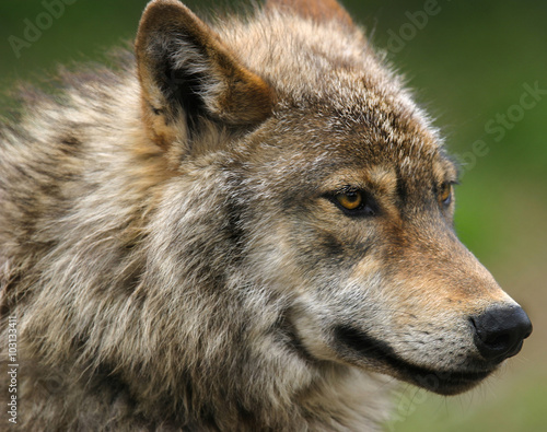 Photo  Gray Wolf head shot .