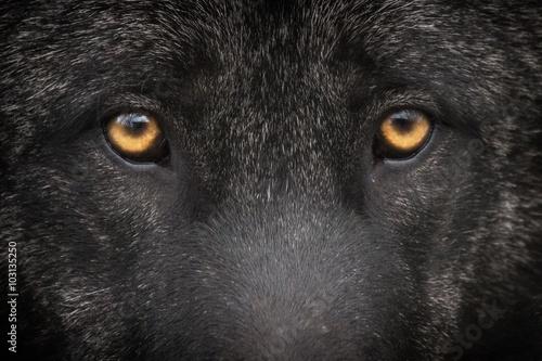 Papiers peints Loup Loup noir
