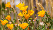 California Goldenpoppy