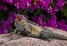 Green Iguana (Iguana Iguana) Sunning On A Rock