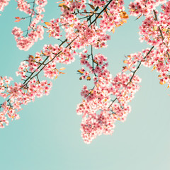 FototapetaNature background of beautiful sakura pink flower in spring - vintage pastel color filter