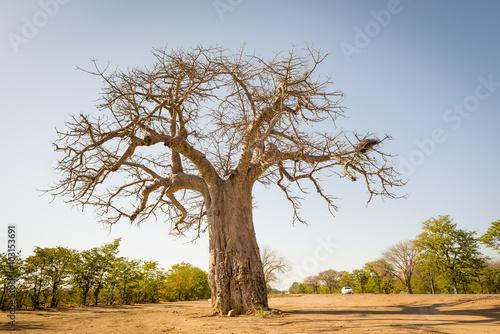 Keuken foto achterwand Baobab Baobab Tree