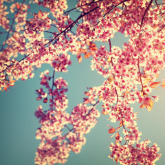 Retro nature background of beautiful cherry pink flower in spring