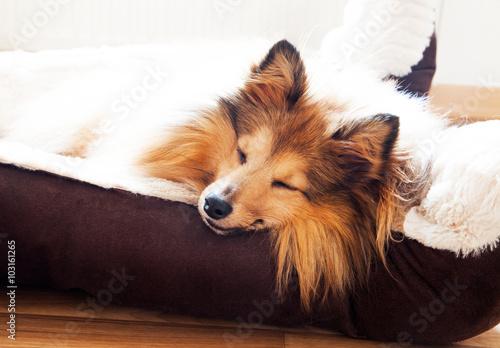 Foto  Sheltie schläft, sheltie to sleep