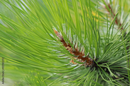 Fotografie, Obraz  Young pine summer in Crimea