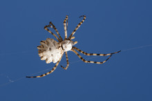 Araña En Cielo Azul. Argiope Lobata